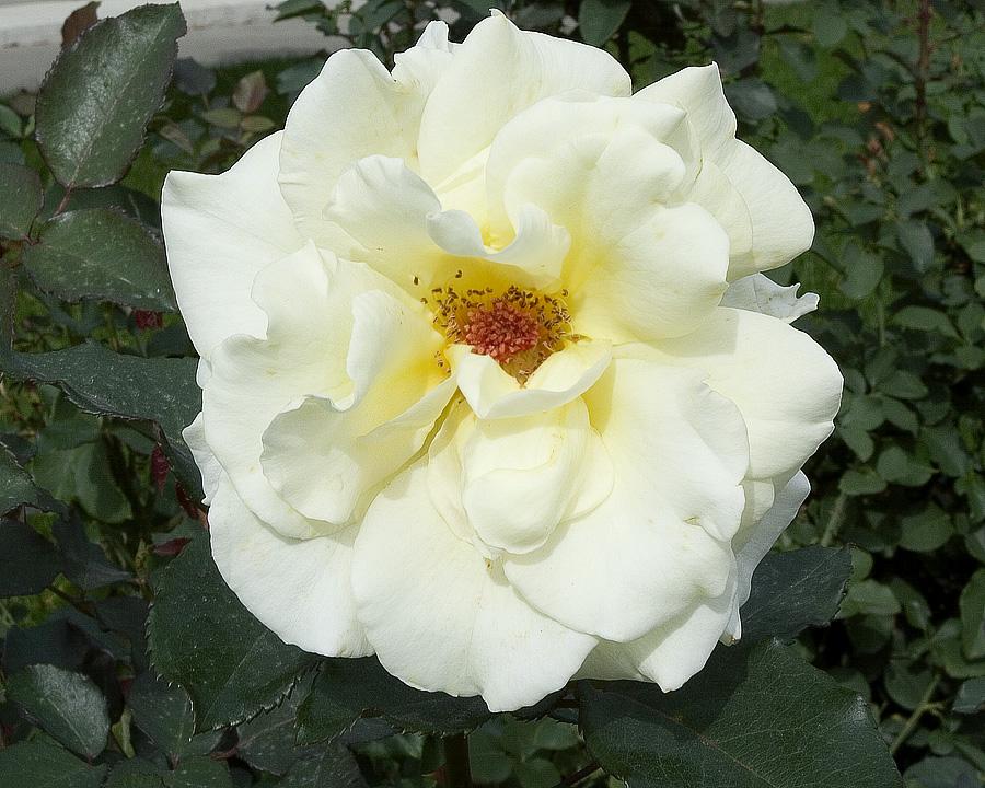 Sunnybrook Rose