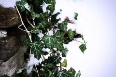 20071204205058_snowandivy.jpg